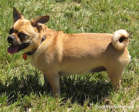 jack russell pug mix puppy jug dog breed information and pictures 6390
