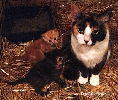 A Calico Cat is sitting in Hay and to the left of it is two kittens.