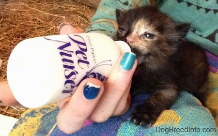 The front left side of a black with white Kitten that is being bottle fed by a person with colorful nails.