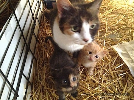 Close up - A big Calico Cat is sitting on a hay inside of a cage and in front of it are two Kittens.