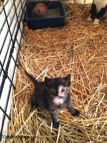 A black and gray with white Kitten is sitting in a cage with an orange cat sitting inside the litterbox behind it.