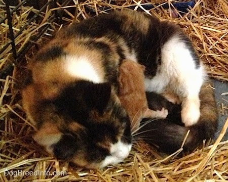 Winny the Cat laying in hay with two stray kittens under her