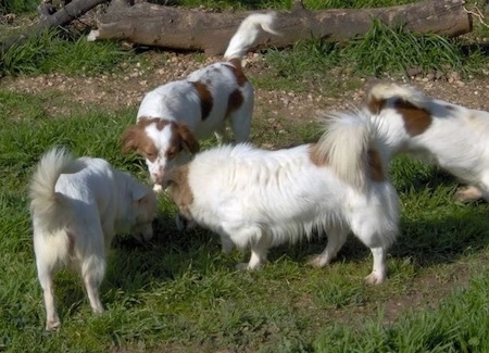 Four white with brown Kokoni dogs are standing in grass. Three of the dogs are smelling something on the ground the fourth is walking away.