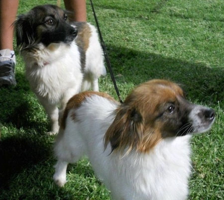 Two dogs out in grass, a white with brown and a white with black and brown Kokoni are looking to the right