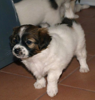 A white with black and brown Kokoni puppy is standing on a brick red tiled floor with its ittermates behind it.