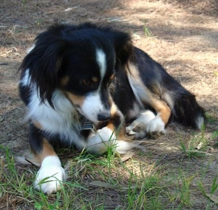 A tricolor black with tan and white Kokoni dog is laying in brown grass and looking down