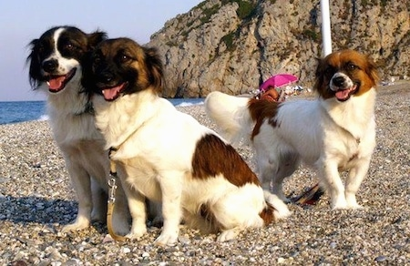 Three panting white and brown Kokonis are standing and sitting on a beach with a big cliff behind them.