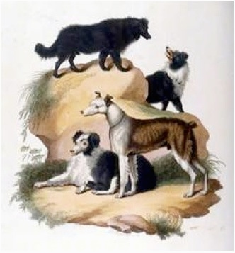 A drawn picture of four dogs. Two Australian Koolies are sitting in front of large bolder size rock. There two other Australian Koolies walking on top of the rocks.