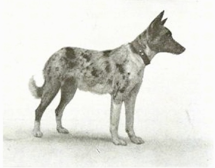 Side view - A drawn picture of a Koolie looking to the right
