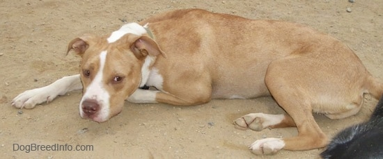 A tan with white Labrabull is laying down in dirt. There is a black with white dog behind it