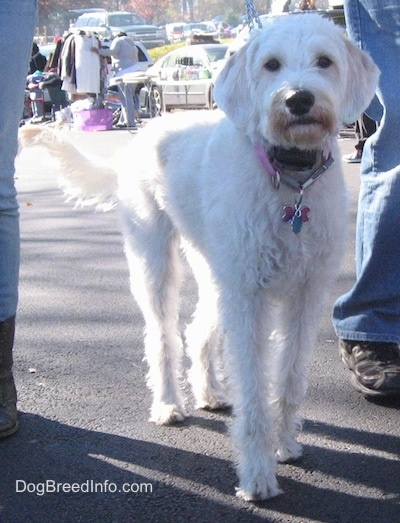 A white Labradoolde is standing on a black top surface. It is surrounded by people and tables with things for sale.