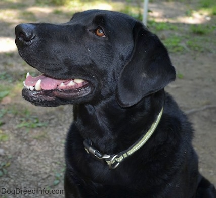 Close up upper body of a black Labrador Retriever. It is looking up and to the left. Its mouth is open.