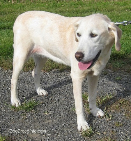 Side view - A yellow Labrador Retriever is standing on a gravelly path and it is looking back