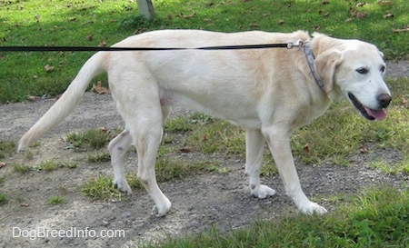 Side view - A yellow Labrador Retriever is walking down a gravelly path while on a black leash. Its mouth is open and its tongue is out