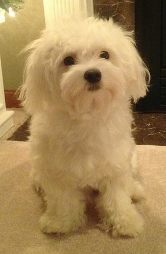 A furry, white Maltese is sitting on a tan couch looking up. There is a brown marble floor and a white pillar behind it.