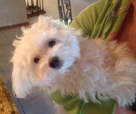 A furry, soft looking white Maltese is being held in the arms of a person in a green jacket in a kitchen that has brown granite countertops and a white tiled floor.