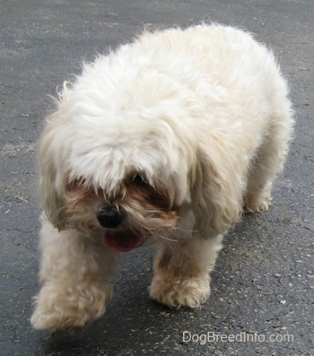 Front view - A panting tan with white Maltese is walking across a blacktop driveway with its tongue curled out. Its front paw is in the air.