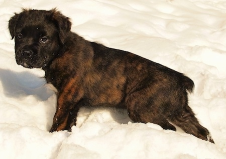 A small brindle black and brown Mammut Bulldog puppy is walking through snow and looking to the left of its body.
