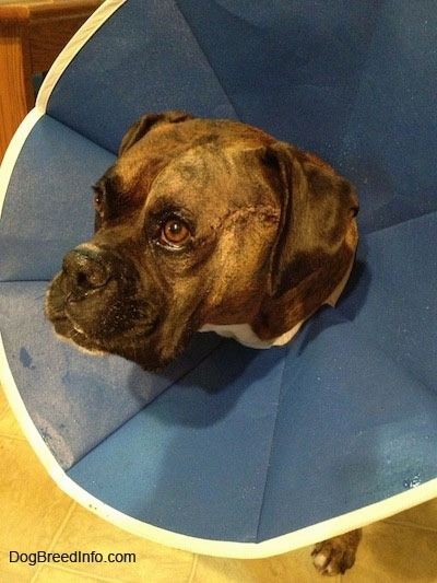 Bruno the Boxer wearing a dog cone. With the recent Surgery Sutures on his left side