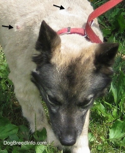 Two Black Arrows pointing to the lumps that are mast sell tumors on the Norwegian Elkhound's shaved back