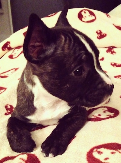 miniature french bull terrier dog breed information and