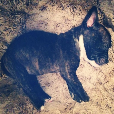 French Bull Terrier Dog Breed Information and Pictures