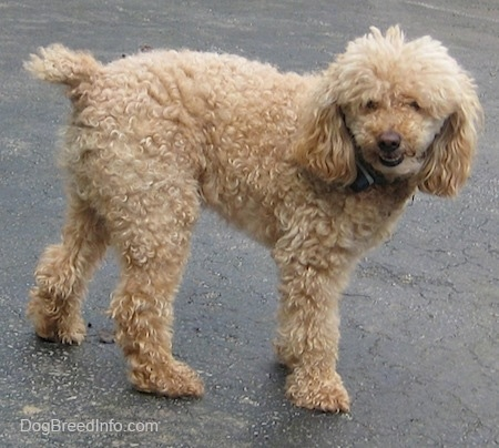 Side view - A tan Miniature Poodle dog is standing on a black top surface and turning to the right of its body. Its mouth is slightly open.