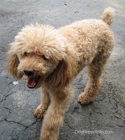 A tan Miniature Poodle is walking down a black top surface. Its mouth is wide open. It sort of looks like it is beginning to yawn.