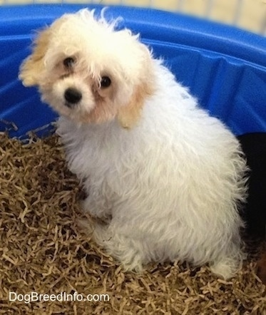 Miniature Poodle Dog Breed Pictures 2