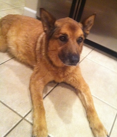 A large breed, perk-eared, tan German Shepherd/Queensland Heeler/Chow Chow mix is laying on a white tiled floor with a refridgerator behind it.