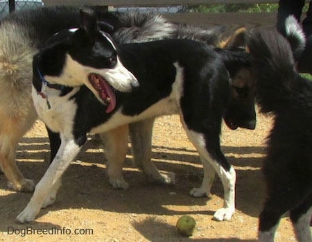 A black with white Saint Bernard/Schipperke/Weimaraner mix breed dog is standing in a circle of dogs. Next to it is a tennis ball.