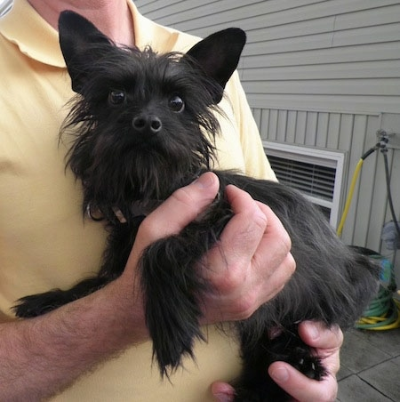 A black long-coated, scruffy looking small breed dog being held in the arms of a man who is wearing a yellow shirt and standing on a deck on the side of a tan house.