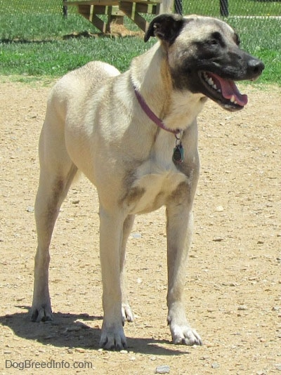 Front side view - A tan with black Patterdale Shepherd dog is looking to the right. Its mouth is open and tongue is out.