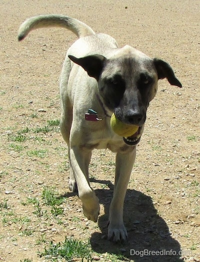 Front view action shot - A tan with black Patterdale Shepherd dog is running across dirt with a tennis ball in its mouth.