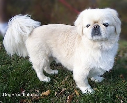 The right side of a white Pekingese standing in grass and it is looking forward. It has longer hair on its tail and its coat looks soft.