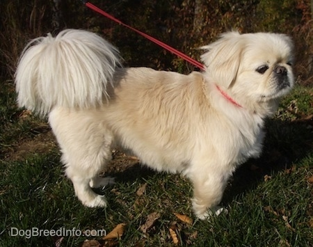 The right side of a tan with white Pekingese dog is standing outside in grass and it is looking to the right.