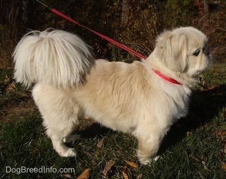 Right Profile - A tan with white Pekingese dog is on a red leash wearing a red collar standing outside in grass.