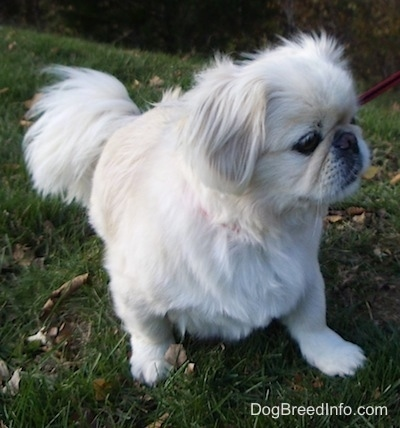 Front view - A tan with white Pekingese dog is laying outside in grass and it is looking to the right.