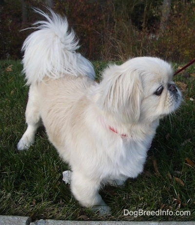 A tan with white Pekingese dog is walking to the right.
