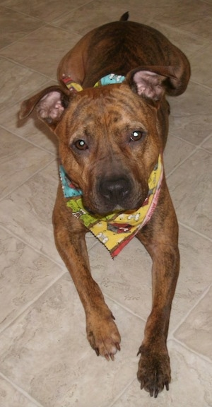 A brown Pit Bull Terrier islaying on a tiled floor and it is wearing a bandana.