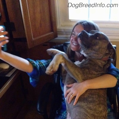 The left side of a blue-nose brindle Pit Bull puppy that is taking a selfie in a chair with its owner