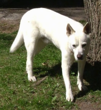 Front side view - A perk-eared, white with tan Pitsky is standing in grass next to a tree and its head is level with its body and tail is being held low.