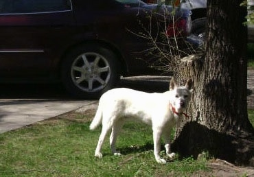 Left Profile - A shhort haired, perk eared, white with tan Pitsky is standing in grass next to a large tree looking forward. There is a black car parked behind it.
