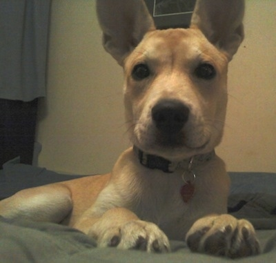 Close up front view - A perk-eared, short-haired, tan with white Pitsky puppy is laying on a bed looking forward.