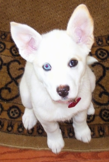Pitsky Dog Breed Information and Pictures
