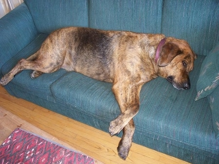A brown with black Plott Hound is laying on its side on a green couch. The large dog takes up just about the entire couch and its paws are hanging over the edge.
