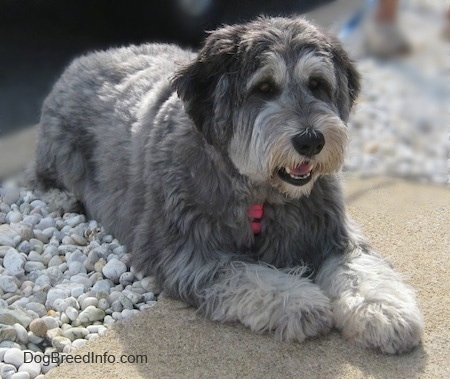 Close up front side view - A grey with black and white Polish Lowland Sheepdog is laying partially on a concrete sidewalk with its back end on white rocks.