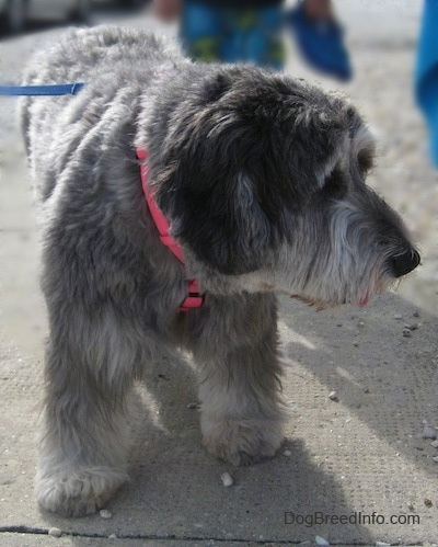 Close up - A grey with black and white Polish Lowland Sheepdog is standing on a sidewalk and it is looking to the right. Its head is level with its body.