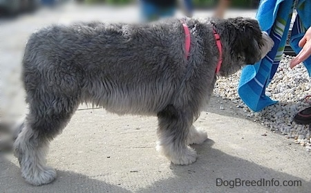 Right Profile - A grey with black and white Polish Lowland Sheepdog is standing across a sidewalk and it is sniffing a blue beach towel in front of it. A person has their hand extended to the dog.