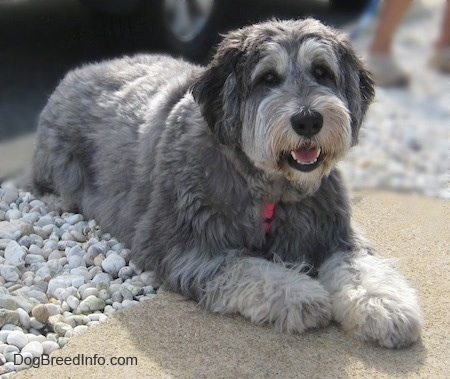 Front side view - A shaggy looking grey with black and white Polish Lowlan Sheepdog is laying on rocks and a concrete step. It is looking forward, its mouth is open and it looks like it is smiling.